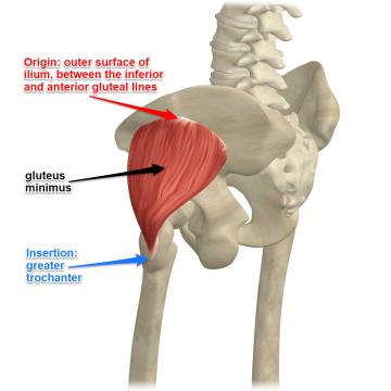 gluteus-minimus-muscle-1